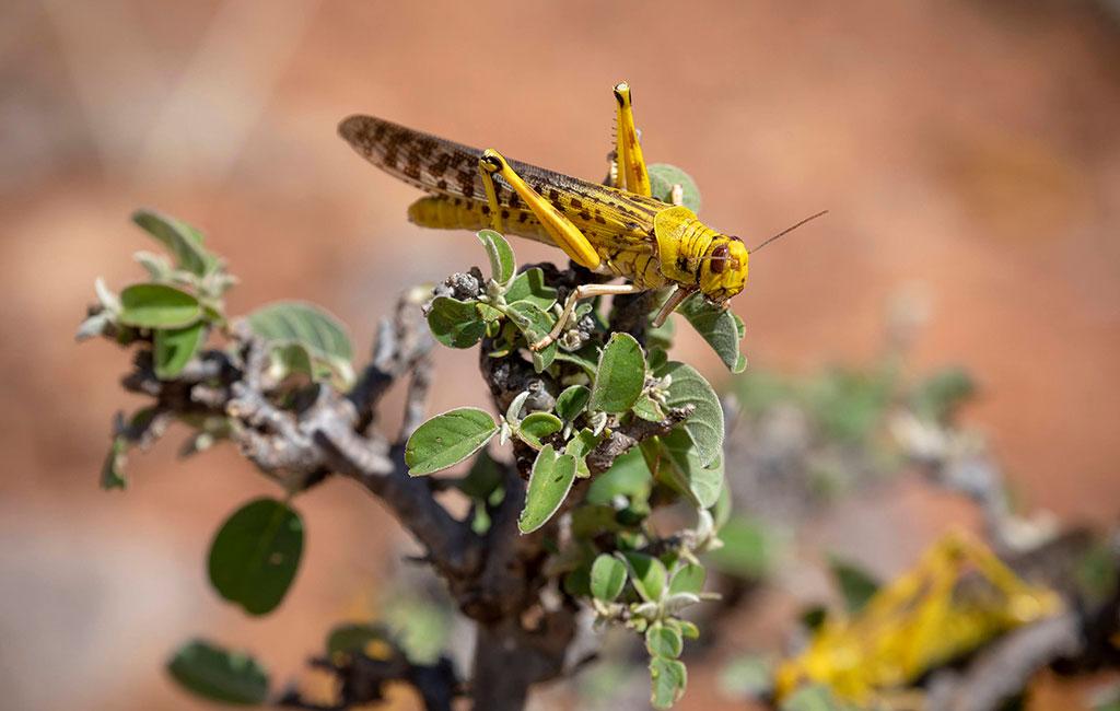 A desert locust in Kenya.