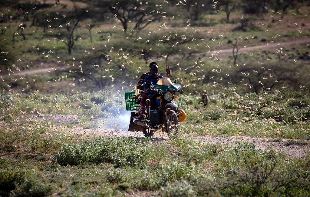 A man rides on his motorbike through a swarm of locusts.